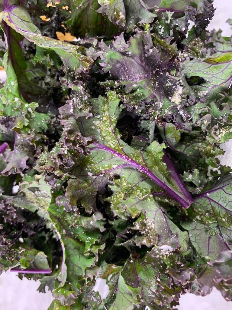 Close up of the coated kale ready to be roasted for a veggie tray.